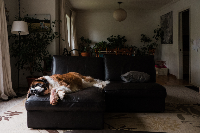 St Bernard on couch - documentary family photography